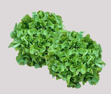 Green Oak Leaf