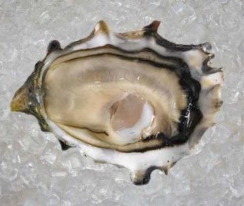 Pacific Rock Oyster