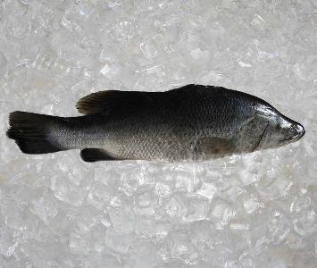 Saltwater Barramundi - Whole