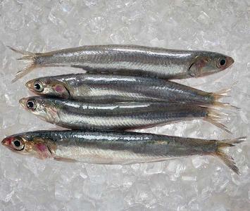 Sardine Mediterranean