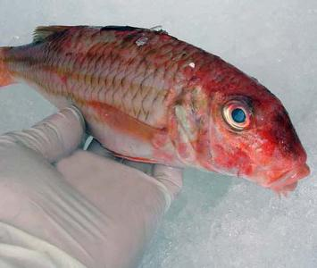 Fish facts fish theodore for Red mullet fish